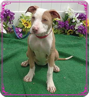 Pit Bull Terrier Mix Dog for adoption in Marietta, Georgia - LADY- also see ACE