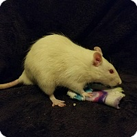 Adopt A Pet :: Ricotta & Mozzarella - Dallas, TX