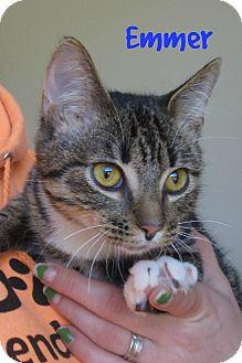Domestic Shorthair Cat for adoption in Menomonie, Wisconsin - Emmer