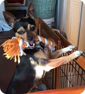 Chihuahua/Miniature Pinscher Mix Dog for adoption in Encino, California - Paco