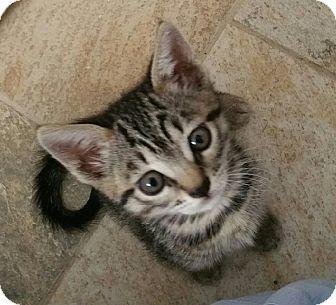 Domestic Mediumhair Kitten for adoption in Burbank, California - Kat-erina