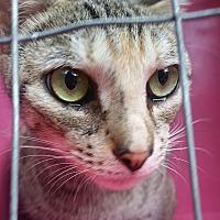 Calico Cat for adoption in Ocala, Florida - Bambi