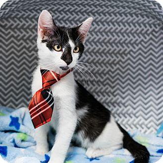 Domestic Shorthair Kitten for adoption in Montclair, California - Jackson