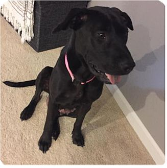 Shar Pei/Pointer Mix Dog for adoption in Manhattan, Kansas - Betsy-adoption pending