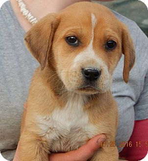 Akita/Retriever (Unknown Type) Mix Puppy for adoption in West Sand Lake, New York - Ember (5 lb) Cutie Pie!
