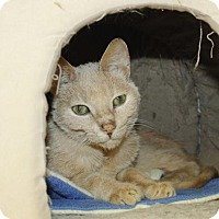 Domestic Shorthair Cat for adoption in Grass Valley, California - Wally
