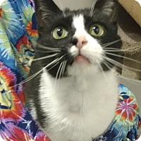 Domestic Shorthair Cat for adoption in Des Moines, Iowa - Double Stuff