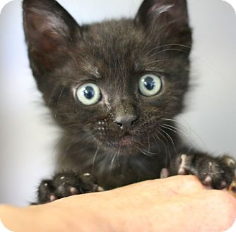 Domestic Shorthair Kitten for adoption in Canoga Park, California - Jonesy