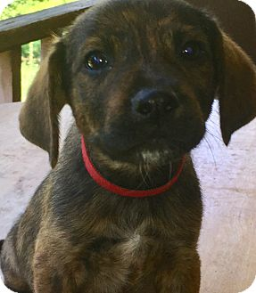 Bluetick Coonhound Mix Puppy for adoption in Spring Valley, New York - Red