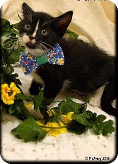 Domestic Shorthair Kitten for adoption in Oviedo, Florida - Sage