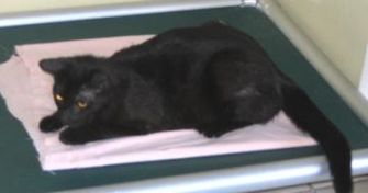 Domestic Shorthair/Domestic Shorthair Mix Cat for adoption in Jacksonville, Florida - Samantha 0304