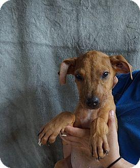 Golden Retriever/Labrador Retriever Mix Puppy for adoption in Oviedo, Florida - Kling