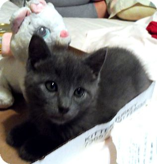 Domestic Shorthair Kitten for adoption in brewerton, New York - breezie and midnight