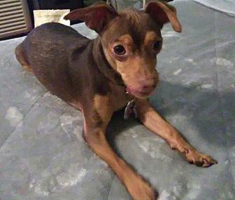 Miniature Pinscher Dog for adoption in Tumwater, Washington - Ceaser