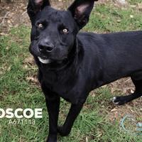 Adopt A Pet :: *ROSCOE - Camarillo, CA