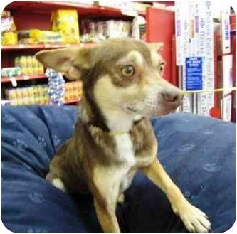 Chihuahua Dog for adoption in Sugar Land, Texas - Chichi