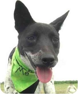 Pointer/Terrier (Unknown Type, Medium) Mix Dog for adoption in Wynne, Arkansas - Ashleigh