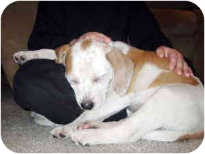 Beagle/Jack Russell Terrier Mix Dog for adoption in Manhasset, New York - Chloe