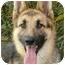 Photo 1 - German Shepherd Dog Dog for adoption in Los Angeles, California - Nessa von Nurnberg