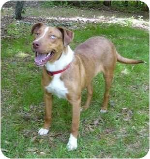 Carolina Dog/Boxer Mix Dog for adoption in Mocksville, North Carolina - Jesse