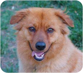 Golden Retriever/Chow Chow Mix Dog for adoption in Richmond, Virginia - Red
