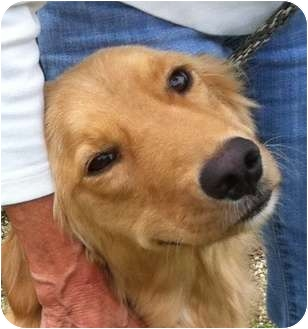 Golden Retriever Dog for adoption in New Canaan, Connecticut - Sophie
