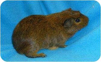 Guinea Pig for adoption in Phoenix, Arizona - Jason