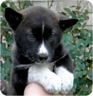 Siberian Husky Mix Puppy for adoption in Harper, Texas - Puppy6
