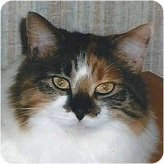 Ragdoll Cat for adoption in Weatherford, Texas - Callie