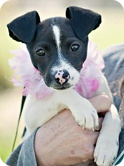 Terrier (Unknown Type, Small) Mix Puppy for adoption in Portsmouth, Rhode Island - Spotty w/video!