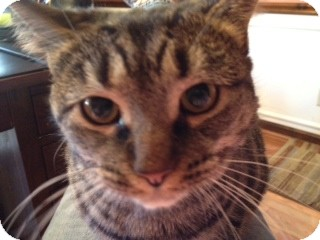 Domestic Shorthair Cat for adoption in Cincinnati, Ohio - Lucy