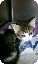 Domestic Shorthair Kitten for adoption in Rocky Mount, North Carolina - U009