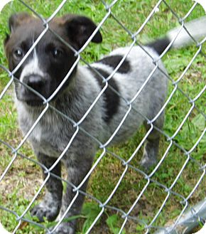 Australian Shepherd/Australian Cattle Dog Mix Puppy for adoption in Jarrettsville, Maryland - Spencer