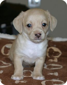 Jack Russell Terrier/Pomeranian Mix Puppy for adoption in Santa Ana, California - Flapjack