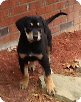 Hound (Unknown Type)/Labrador Retriever Mix Puppy for adoption in Smithfield, North Carolina - Charlie