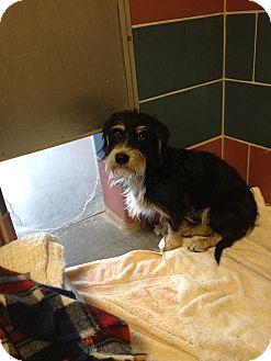 Terrier (Unknown Type, Medium)/Dachshund Mix Dog for adoption in Gardnerville, Nevada - Dodger