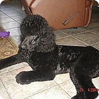 Adopt A Pet :: Silas - spring valley, CA