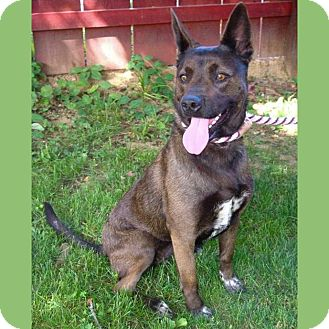 Australian Kelpie Mix Dog for adoption in Red Bluff, California - WILLOW