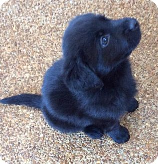 Labrador Retriever/Catahoula Leopard Dog Mix Puppy for adoption in Murfreesboro, Tennessee - Levi