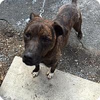 Adopt A Pet :: Ace - Park Ridge, NJ