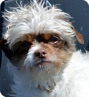 Shih Tzu Mix Dog for adoption in Bridgeton, Missouri - Starbuck-Adoption pending