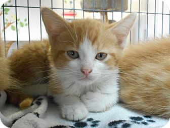 Domestic Shorthair Kitten for adoption in China, Michigan - Rebel