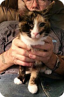 Domestic Shorthair Kitten for adoption in Carrollton, Texas - Shamrock