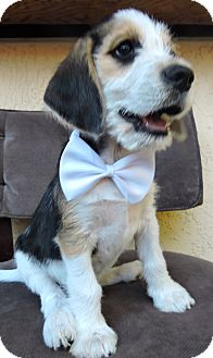 Tibetan Terrier/Beagle Mix Puppy for adoption in San Diego, California - Jack