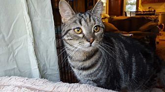 Domestic Shorthair Cat for adoption in Berkeley Hts, New Jersey - Mary