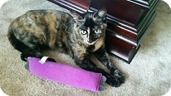 Domestic Shorthair Kitten for adoption in Huntley, Illinois - Scarlet