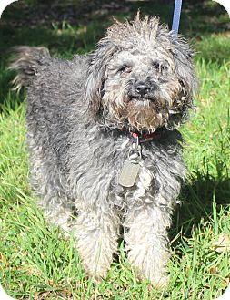 Poodle (Miniature)/Schnauzer (Miniature) Mix Dog for adoption in Wheaton, Illinois - FRANNY