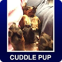 Adopt A Pet :: CoCo - Morrisville, PA