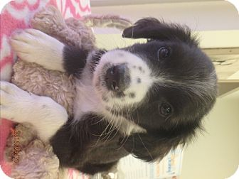 Border Collie Mix Dog for adoption in Beaumont, Texas - Domino