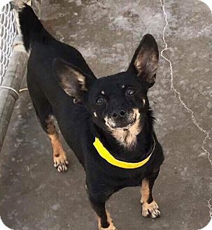 Chihuahua/Dachshund Mix Dog for adoption in Staunton, Virginia - Gus
